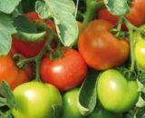 Seminte de rosii Bersola F1 (500 seminte)