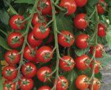 Seminte de rosii cherry Tropical F1 (1000 seminte)