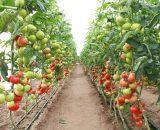Seminte de rosii Corvinus F1 (500 seminte)