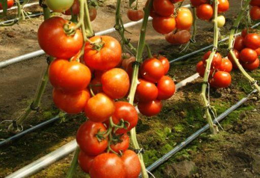 Seminte de rosii Doufu F1 (100 seminte)