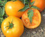 Seminte de rosii galbene ISI SEMENTI 36629 F1 (500 seminte)