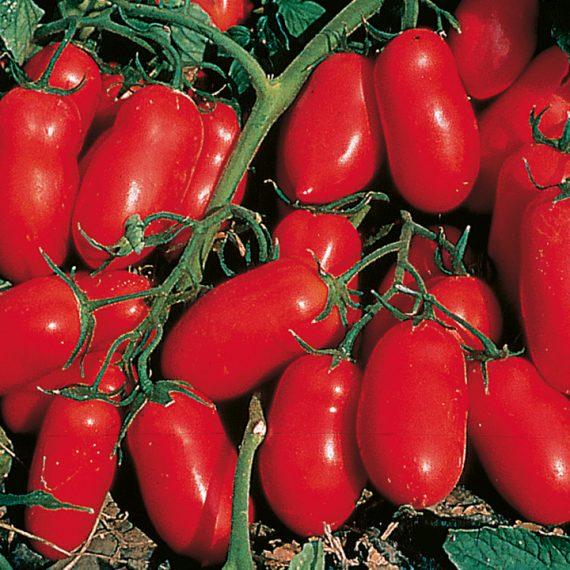 Seminte de rosii Incas F1 (1000 seminte)