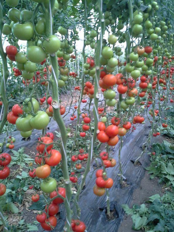Seminte de rosii Lemance F1 (500 seminte)