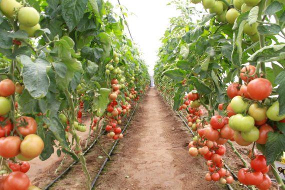 Seminte de tomate Magnus F1 (500 seminte)