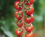 Seminte de rosii cherry Marghol F1 (100 seminte)