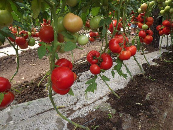 Seminte de rosii Qualitet F1 (500 seminte)