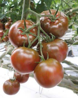 Seminte de rosii Sacher F1 (200 seminte)