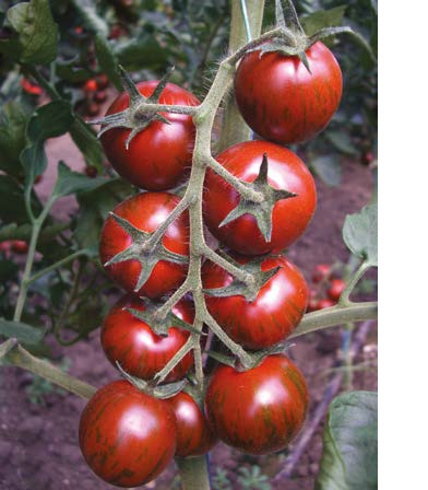 Seminte de rosii Tiger F1 (200 seminte)
