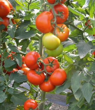 Seminte de rosii Tobolsk F1 (250 seminte)