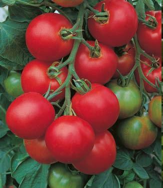 Seminte de rosii Tolstoi F1 (5g)