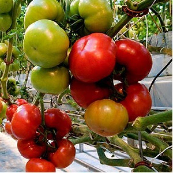 Seminte de rosii Torero F1 (500 seminte)