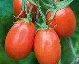 Seminte de rosii Torquay F1 (5g)