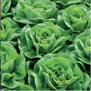 Seminte de salata Bertilo (2500 seminte)