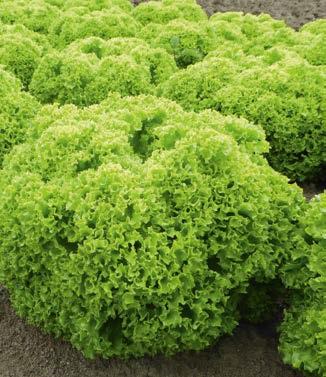 Seminte de salata lollo bionda Biondonna (5000 seminte)
