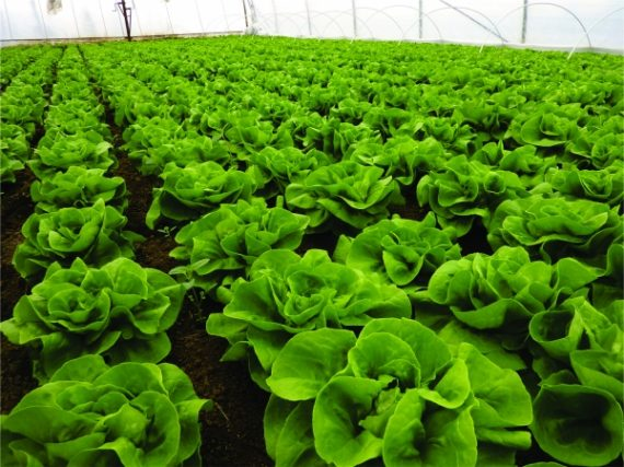 Seminte de salata Centore (5000 seminte)