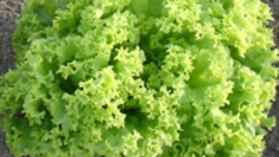 Seminte de salata lollo bionda Dabi (5000 seminte)