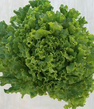 Seminte de salata batavia Euribel (5000 seminte)