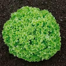 Seminte de salata creata Funtasia (5000 seminte)