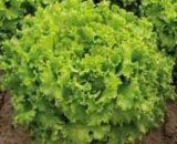 Seminte de salata Fuzila (5000 seminte)