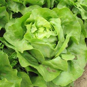 Seminte de salata Laruna (2500 seminte)