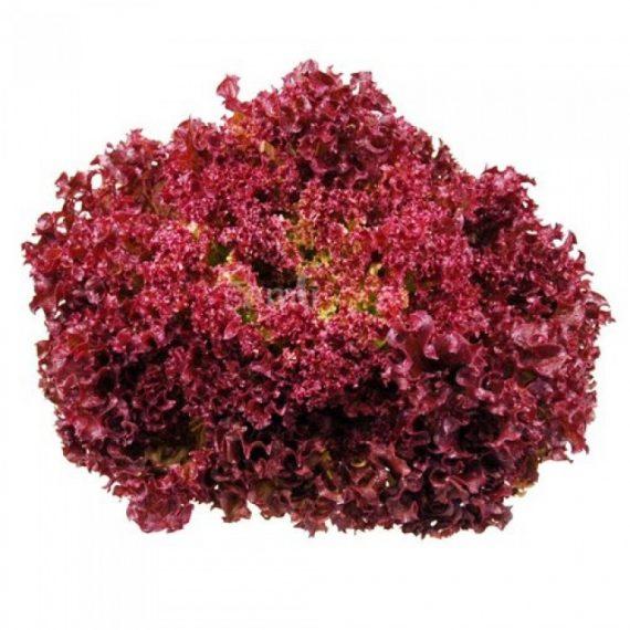 Seminte de salata lollo rosa Lea (5000 seminte)