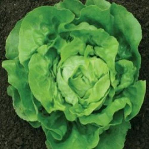 Seminte de salata Lobela (5g)