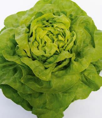 Seminte de salata Malis (5000 seminte)