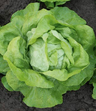 Seminte de salata Megis (5000 seminte)