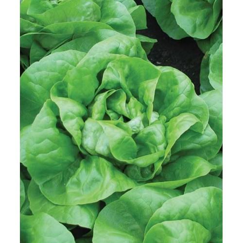 Seminte de salata Mensana (2500 seminte)