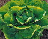 Seminte de salata Pronto (5g)