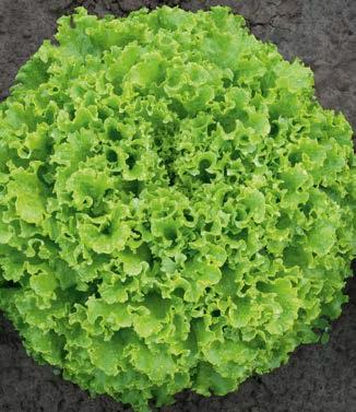 Seminte de salata batavia Sementel (5000 seminte)