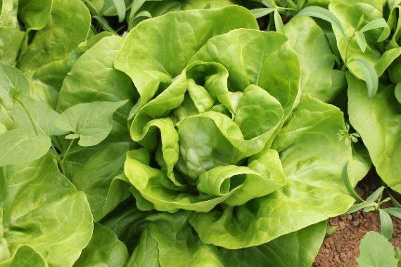 Seminte de salata Shangore (5000 seminte)