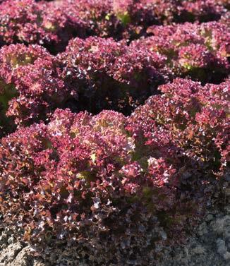 Seminte de salata lollo rossa Spectation (5000 seminte)