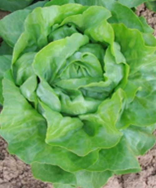 Seminte de salata Touareg drajate (5000 seminte)