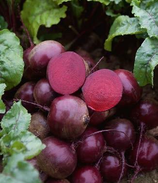 Seminte de sfecla rosie Action F1 (50.000 seminte)