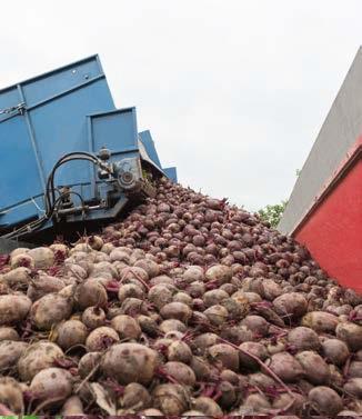 Seminte de sfecla rosie Bikores F1 (50.000 seminte)