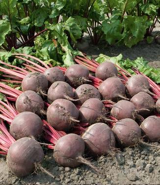 Seminte de sfecla rosie Boro F1 (50.000 seminte)