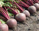 Seminte de sfecla rosie Pablo F1 (50.000 seminte)