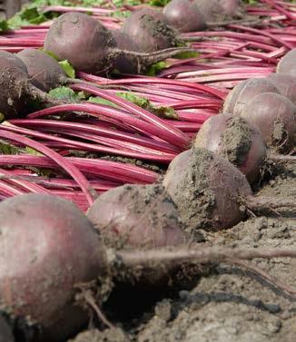 Seminte de sfecla rosie Wodan F1 (50.000 seminte)