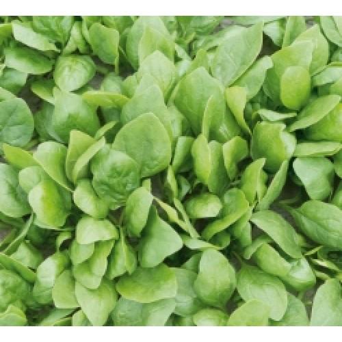 Seminte de spanac Rembour F1 (50000 seminte)