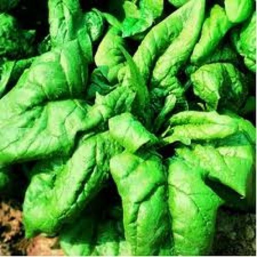 Seminte de spanac Samos F1 (1kg)