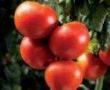 Seminte de rosii Tamesis F1 (500 seminte)