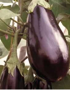 Seminte de vinete Black Pearl (500 seminte)