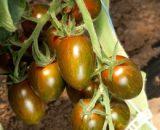Seminte de rosii cherry Crispino Plum F1 (500 seminte)