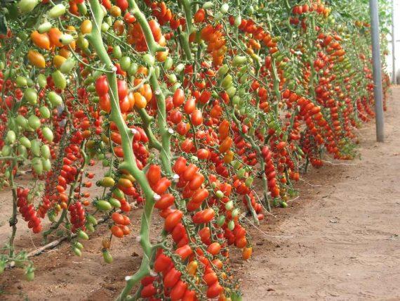Seminte de rosii cherry Lobello F1 (500 seminte)