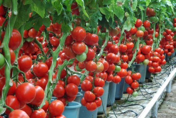 Seminte de rosii Profilo F1 (500 seminte)