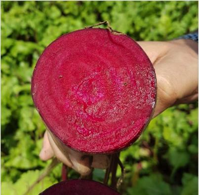 Seminte sfecla rosie CRX 407 (50000 seminte)