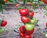 Seminte de rosii Ciciu F1 ( 500 seminte )