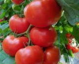 Seminte de rosii Dinakor F1 ( 500 seminte )