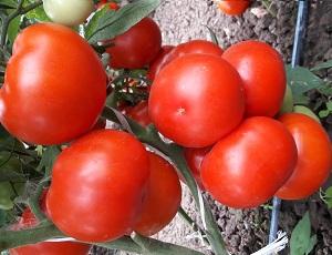 Seminte de rosii Kaponet F1 ( 500 seminte )